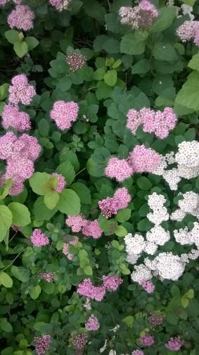 blommande buske