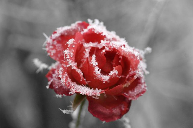 frosted-rose