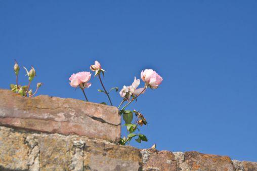 Wild_Roses